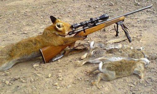 Fuchs jagt Kaninchen mit Flinte