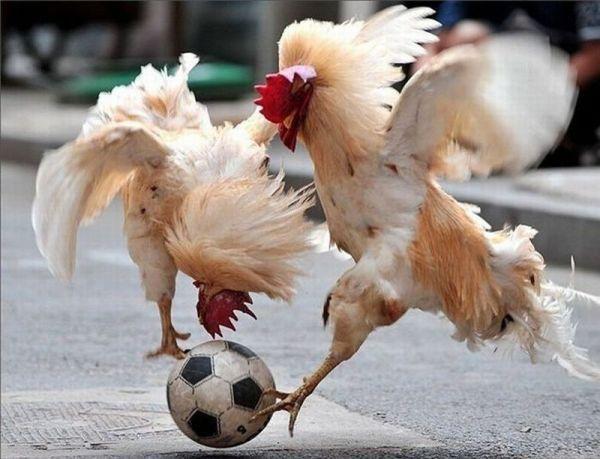 Hähne spielen Fußball